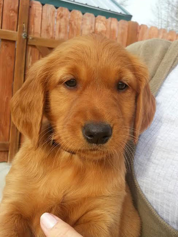 Red golden retriever washington state – Dogs in our life ...