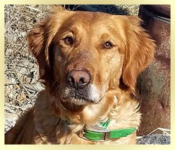 Skyriver Golden Retrievers Field Bred Golden Retriever Puppies